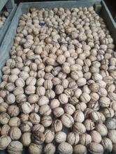 Vlašské ořechy, letošní -nevyloupane,