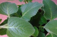 Rostlinky rýmovníku zdarma v třebíči - nové dvory,