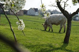 Honzík krávy miluje - dokáže dlooouho pozorovat