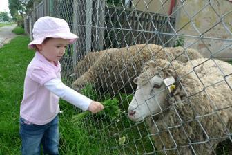 Nakrmili jsme ovečky
